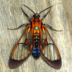 Wasp Moth, Colombia, by Andreas Kay.