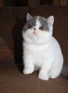 Don't move..breeds of persian chinchilla cats   Purfurvid: Exotic Shorthair Cats & Persian Cats - Pixies' Kittens