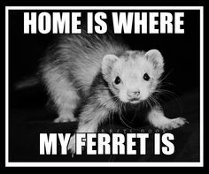 pin ferret meme on - photo #21