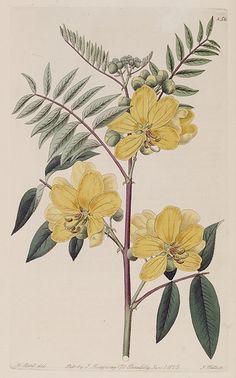 Kala-kasaundil. Cassia purpurea. Twigs are purple, flowers orange to yellow, growth 3-4 feet tall. Native to Pakistan. Botanical Register, vol. 10 (1824) [W. Masters]