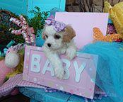www.cavachonsbydesign.com Cavachon puppies for sale, Cavachon, Cavachons, Cavachon dog, Cavachon pups, Cavachon pup, Cavachons dogs for sale, Cavachon puppies, Cavachons for sale, Cavachon breeder, Cavachon breeders, Bichon Cavachon Puppies, Dogs For Sale, Puppy Love, Teddy Bear, Cute, Animals, Design, Animales, Animaux