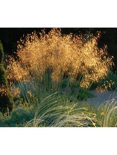 Stipa gigantea - very beautiful, tall but see-through grass, flowers May until winter Hillside Garden, Gravel Garden, Garden Shrubs, Garden Plants, Winter Plants, Winter Garden, Plant Design, Patio Design, Garden Design