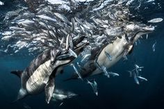 """Behaviour category – highly commended. Dolphins Hunting by Greg Lecoeur (France). Location: Port Saint Johns, South AfricaSardines, a crucial part of the food chain for many marine animals, are in sharp decline. During their migration along the coast, many predators work together to hunt them but, Lecoeur says, """"the action is more and more unpredictable"""". He spent several days on the ocean to have just one chance and got this shot. As the judge put it: """"Dolphins with sardines spilling out of…"""