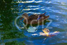 Qdiz Stock Photos Duck In Water Closeup,  #background #beak #beauty #bird #birdwatching #blue #brown #close-up #closeup #duck #feather #floating #head #lake #macro #mallard #nature #outdoor #outside #pond #reflection #River #sunny #swimming #water #waterfowl #wild #wildlife #wing