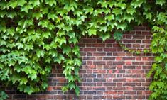 "HowStuffWorks ""10 Creeping Vines that Provide Privacy"""
