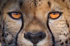 Cheetah eye contact - Cheetah eyes, Namibia.
