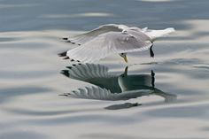 It's not every day you see a photograph of a bird checking out her reflection in a mirror, especially not while in mid-flight while looking into a body of water. What a tremendous photograph from Norwegian photographer Geir Magne Sætre, you can see more of his work over on 500px.