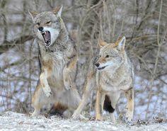 Battling Coyotes 11 by ssvalina, via Flickr