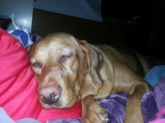Abby my red lab mama's girl