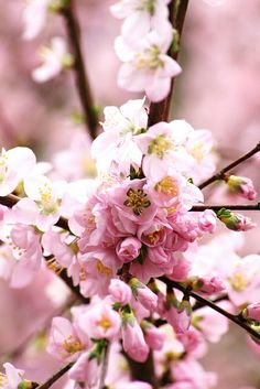 Almond tree blossoms