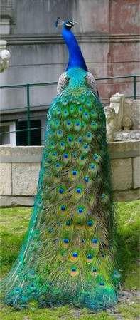 Blue Peacock #color #roofcolor