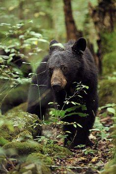 Smoky Mountain Wildlife # blackbear