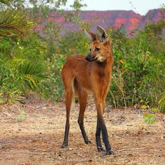 Maned wolf. Salvador Dali's little favorite.
