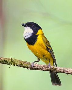 beautiful birds - Top Of The World Funny Birds, Cute Birds, Pretty Birds, Cute Funny Animals, Cute Baby Animals, Exotic Birds, Colorful Birds, Small Birds, Yellow Birds