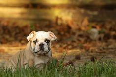 Autumn time splendor and bulldog cuteness. AC