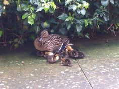 Spring 2012: Mother duck & ducklings back at the UL