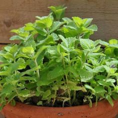 Apple Mint - love this. I am going to grow a bed of this to make sun tea.