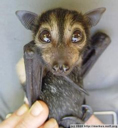 Flying Fox Baby Bat, they are now endangered. Sad because they are so beneficial to us