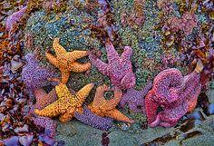 Colorful starfish in Gold Beach, Oregon  wunderground.com