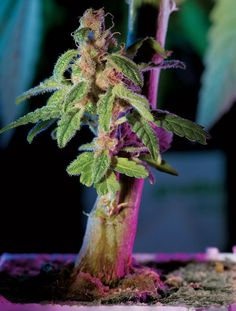 OH MY! This is the grow room of your dreams: http://ht.420.com/QaNWe1 ( marijuana cannabis ) http://www.pinterest.com/thathighguy