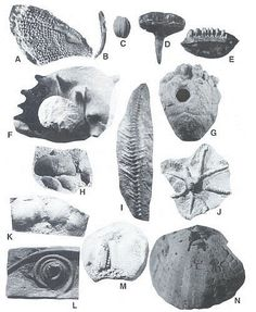 Missouri Fossils - Figure 3. Mississippian (and one Ordovician and Pennsylvanian, K and F) fossils from Missouri. - http://www.lakeneosho.org