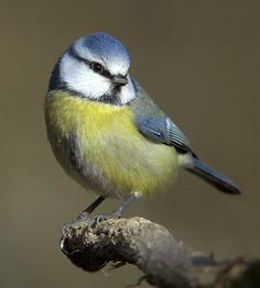 The blue tit is not only pretty, it also eats aphids and other insect pests that destroy our plants.