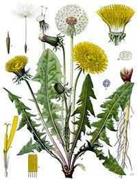 Franz Eugen Köhler, Köhler's Medizinal-Pflanzen Dandelion (Taraxacum officinale) Botanical Name: Taraxacum officinale, Taraxacum mongolicum, Taraxacum palustre, Taraxacum vulgar. Mother Jai's Detox Tea features organic dandelion root and leaf. Botanical Drawings, Botanical Illustration, Botanical Prints, Healing Herbs, Medicinal Plants, Dandelion Uses, Dandelion Plant, Dandelion Leaves, Dandelion Recipes
