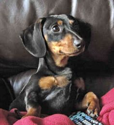 Waiting to hear back from the breeder about the litter of puppies that'll be born in a few days. I'm hoping for one that looks like this. Yay puppy!