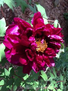 Paeonia suffruticosa (tree peony) is native to China, where it is known as Mudan. Deer proof.