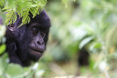 Mountain gorillas in Uganda - I'm going to see them!!! I hope they let me find them on that day!