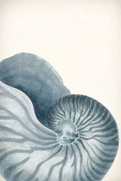 Nautilus shell illustration