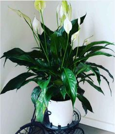 Peace Lily (Spathiphyllum) - air purifier, some toxicity