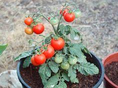 Cultivo de tomates en Macetas