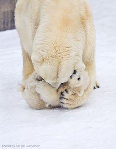 Bear Hug!!!! A mother polar bear cradling its baby in the snow.
