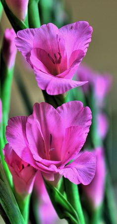 Brilliant Purple Gladiolus