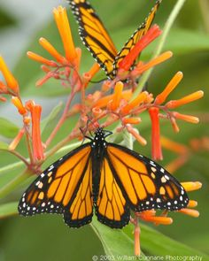Butterflies by Bill Cunnane