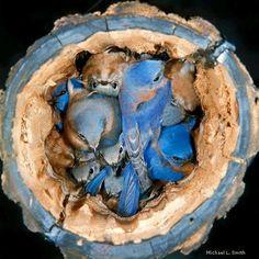 A nest of bluebirds