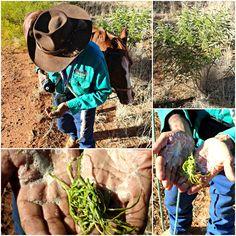Bush Tucker - The remarkable Soapbush Australian Plants, Australian Bush, Trail Riding, Horse Riding, Native Australians, Indigenous Art, Trees And Shrubs, Tucker Box, Horses