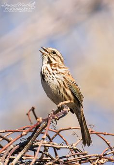 The Song Sparrow (Melospiza melodia) is a medium-sized American sparrow.