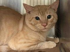 GEORGE - A1092343 - - Manhattan  ***TO BE DESTROYED 10/08/16*** TOO MANY CATS IS THE REASON POOR GEORGE AND HIS 2 PALS WERE DUMPED IN THE SHELTER!! GEORGE was brought into the ACC with his 2 housemates HAMMOND A1092344 and PEACH A1092341 who are not listed tonight but still need rescue. All three of these kitties are orange and very very handsome. GEORGE is perfectly healthy, and about 4 years old. He and his pals are afraid but that is because they want their owner back &#