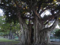 Banyan Trees, Morningside, Florida 2012