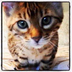 My Bengal kitten - Bianca ❤