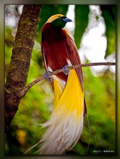 "Lesser Bird-of-Paradise - Paradisaea minor - This medium-sized bird, 12.59"" (32 cm), of the family Paradisaeidae is distributed throughout forests of northern New Guinea and the nearby islands of Misool and Yapen"