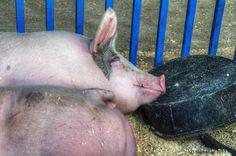 Pigs blissfull sleeping