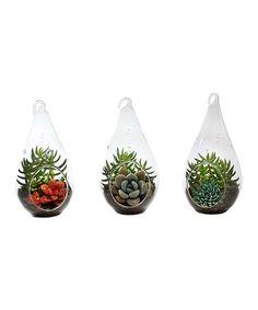 Loving this Live Meredith Succulent Terrarium - Set of Three on #zulily! #zulilyfinds