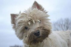Westie dirty face, but adorable!   chw