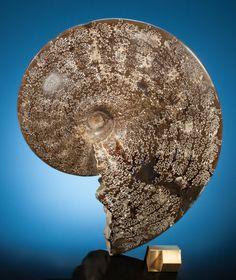 PROTOTYPICAL AMMONITE Sphenodiscus lenticularis Cretaceous Near Rapid City, South Dakota