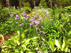 Chives, Hostas, Forget Me Nots