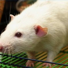 How To Remove the Smell of Urine From Rats