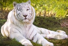 """malformalady:  This beautiful, one-eyed white tiger — a """"celebrity"""" at the Isle of Wight zoo — lost her right eye to glaucoma six years ago."""